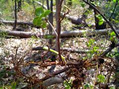 枝から根が出ている