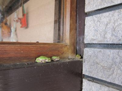 カエルが3匹