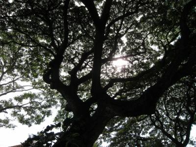でかい木だなあ