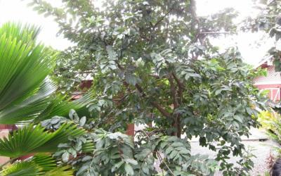 グァバの木