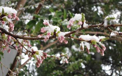 桜はまだつぼみ
