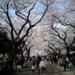 津田山霊園で花見